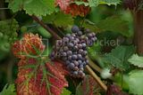 Grapes growing in the garden